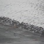 矢部川中島漁港のハマシギ